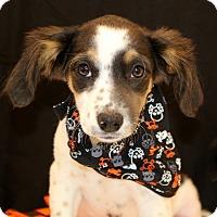 Adopt A Pet :: Audrey~meet me~ - Glastonbury, CT