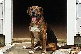Beagle/Labrador Retriever Mix Dog for adoption in Burlington, Vermont - Buckshot(40 lb) Fun, GREAT Dog