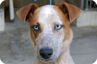 Australian Cattle Dog/Husky Mix Dog for adoption in Mountain Home, Arkansas - Max