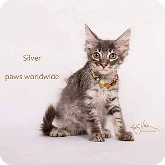 Domestic Shorthair Kitten for adoption in Yucca Valley, California - SILVER