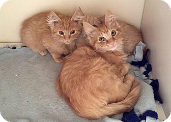 Domestic Mediumhair Kitten for adoption in Duncan, British Columbia - Petra
