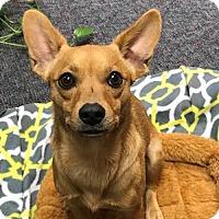 Chihuahua/Feist Mix Dog for adoption in Wedgefield, South Carolina - Myranda