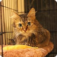 Domestic Longhair Cat for adoption in Carlisle, Pennsylvania - Beta