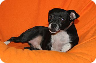 Chihuahua Mix Dog for adoption in Tumwater, Washington - Sleepy