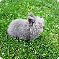 Adopt A Pet :: Ashley - Seattle c/o Kingston 98346/ Washington State, WA