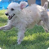 Adopt A Pet :: *Wilma - PENDING - Westport, CT
