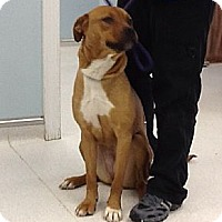 Adopt A Pet :: Honey (Courtesy) - Stroudsburg, PA
