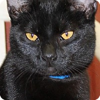 Domestic Shorthair Cat for adoption in Savannah, Missouri - Trevor
