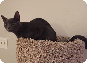 Domestic Shorthair Cat for adoption in Houston, Texas - Fritz