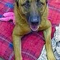 German Shepherd Dog/Chow Chow Mix Dog for adoption in Littleton, Colorado - FREDERICK