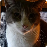 Domestic Shorthair Cat for adoption in New Bedford, Massachusetts - Rocco
