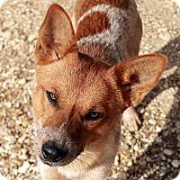 Australian Cattle Dog Dog for adoption in Waco, Texas - Tex