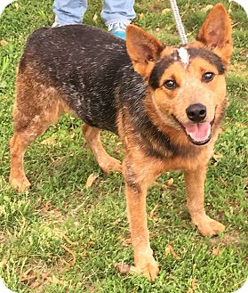 Australian Cattle Dog Mix Dog for adoption in Texico, Illinois - Beau