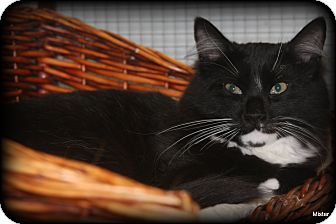 Domestic Mediumhair Cat for adoption in O Fallon, Illinois - Max