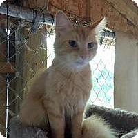 Domestic Longhair Cat for adoption in Ashland, Ohio - Drake
