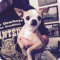 Chihuahua Mix Dog for adoption in FORT WORTH, Texas - Bo