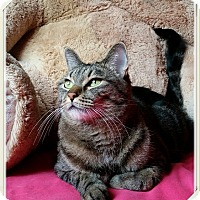 Adopt A Pet :: Gidget - North Las Vegas, NV