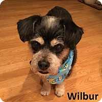 Terrier (Unknown Type, Small) Mix Dog for adoption in Lake Forest, California - Wilbur