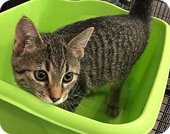 Domestic Shorthair Kitten for adoption in Naperville, Illinois - Sneakers-5 MONTHS