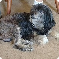 Poodle (Miniature) Mix Dog for adoption in Zanesville, Ohio - Frankie