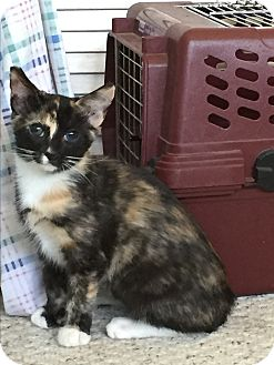 Domestic Shorthair Cat for adoption in Modesto, California - Sophia