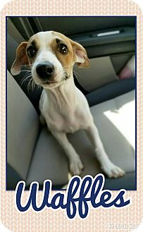 Jack Russell Terrier Mix Puppy for adoption in Edwards AFB, California - Waffles