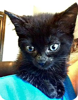 Domestic Shorthair Kitten for adoption in Jefferson, North Carolina - Jojo