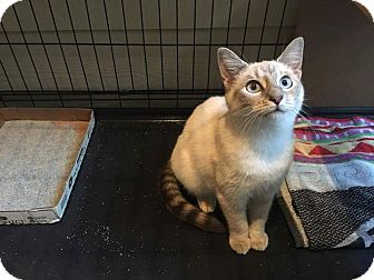 Siamese Kitten for adoption in Denver, North Carolina - Sophie