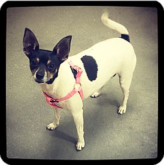 Rat Terrier Mix Dog for adoption in Grand Bay, Alabama - Noel