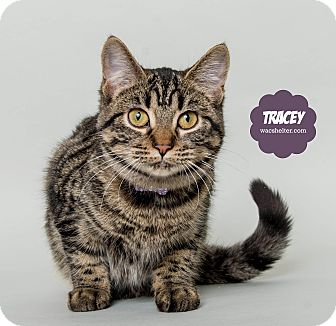 Domestic Shorthair Cat for adoption in Wyandotte, Michigan - Tracey