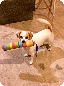 Beagle/Chihuahua Mix Dog for adoption in Indianapolis, Indiana - Miracle