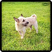 Cairn Terrier/Chihuahua Mix Dog for adoption in Lighthouse Point, Florida - Mugsy