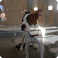 American Pit Bull Terrier Mix Dog for adoption in Janesville, Wisconsin - Nyla