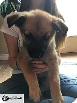 Black Mouth Cur/Shepherd (Unknown Type) Mix Puppy for adoption in DeForest, Wisconsin - Nadine