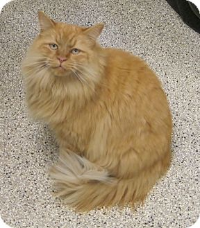 Himalayan Cat for adoption in Georgetown, Texas - Warrior
