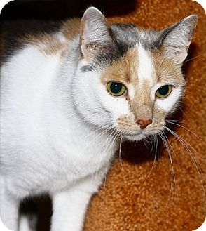 American Shorthair Cat for adoption in Lombard, Illinois - Chablis