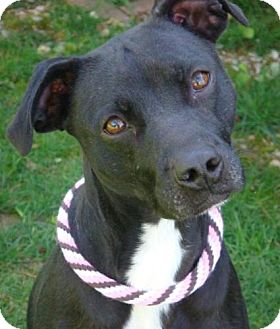 Border Collie Mix Dog for adoption in Red Bluff, California - Ebony