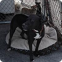 American Bulldog/Labrador Retriever Mix Dog for adoption in Key Biscayne, Florida - Sammy