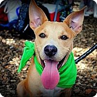 Adopt A Pet :: Basil - Orlando, FL