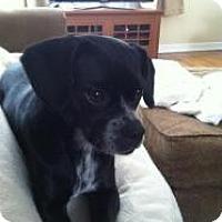 Adopt A Pet :: Shasta - Hancock, MI