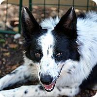 Adopt A Pet :: Karley - Garland, TX