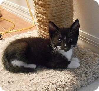 American Shorthair Kitten for adoption in Tampa, Florida - Tutti
