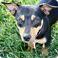 Adopt A Pet :: Abbie - Yorba Linda, CA