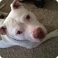American Pit Bull Terrier Dog for adoption in Kenosha, Wisconsin - Goose