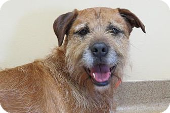 Border Terrier/Terrier (Unknown Type, Medium) Mix Dog for adoption in Santa Monica, California - Amy (Sweet and Active)