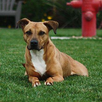 Labrador Retriever Mix Dog for adoption in Stockton, California - Olivia