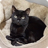 Domestic Shorthair Cat for adoption in Long Beach, New York - Cleo