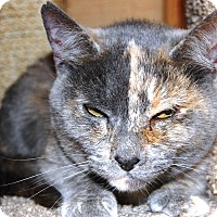 Calico Cat for adoption in Whittier, California - Noodles