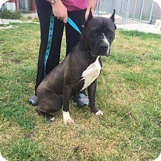 Boxer/Cane Corso Mix Dog for adoption in Williamsburg, Virginia - Luna