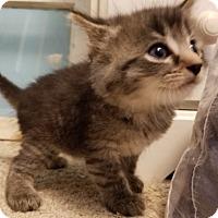 Adopt A Pet :: Miss Poof - Garden City, MI